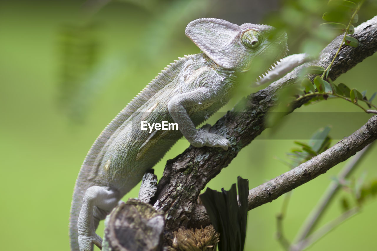 animal themes, animal wildlife, animal, one animal, animals in the wild, reptile, vertebrate, focus on foreground, plant, lizard, close-up, nature, no people, day, tree, green color, branch, selective focus, outdoors, animal body part, animal head, iguana, animal scale, animal eye
