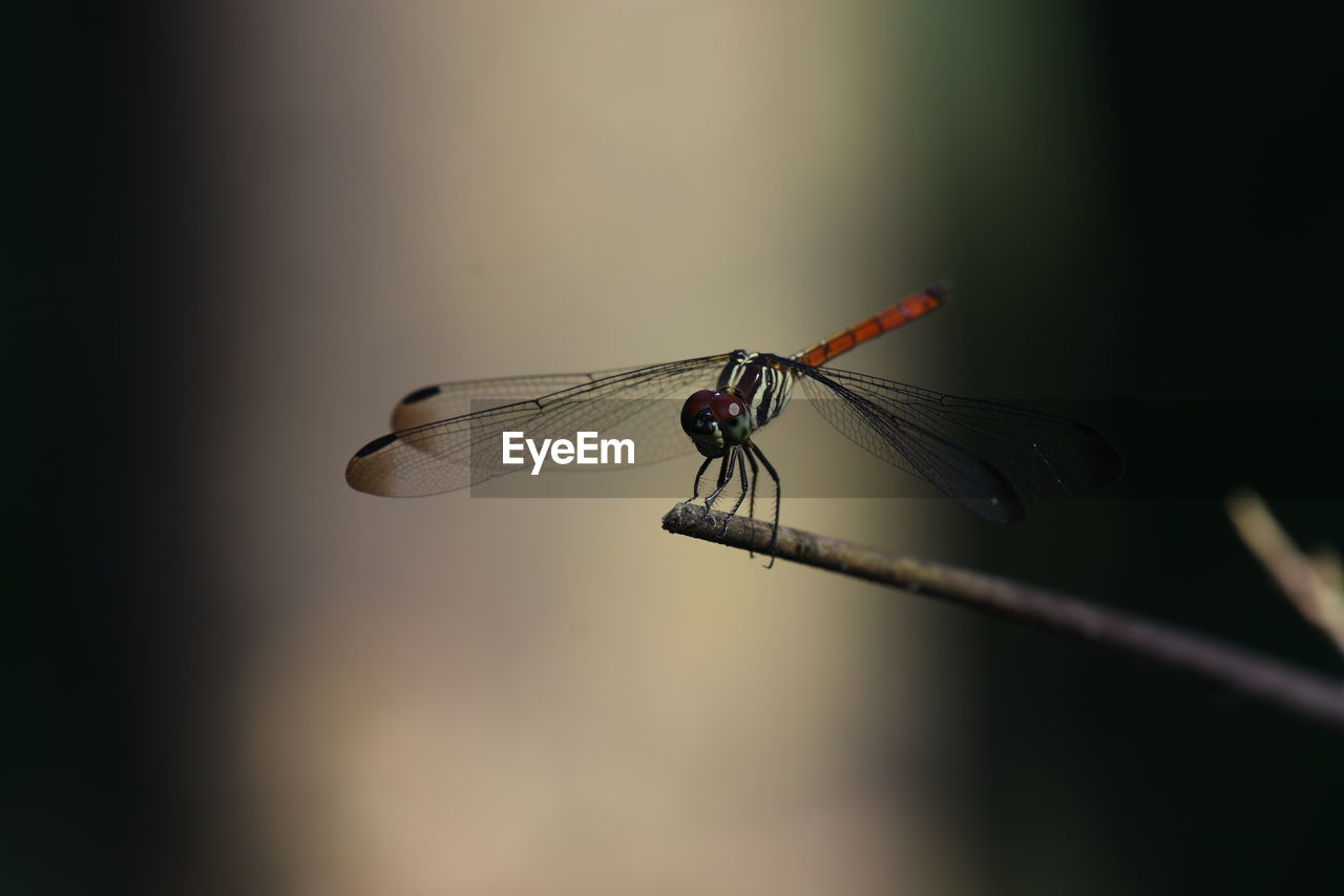 invertebrate, insect, animals in the wild, animal themes, animal wildlife, one animal, animal, animal wing, close-up, dragonfly, focus on foreground, plant, no people, selective focus, day, nature, outdoors, damselfly, twig, zoology, animal eye