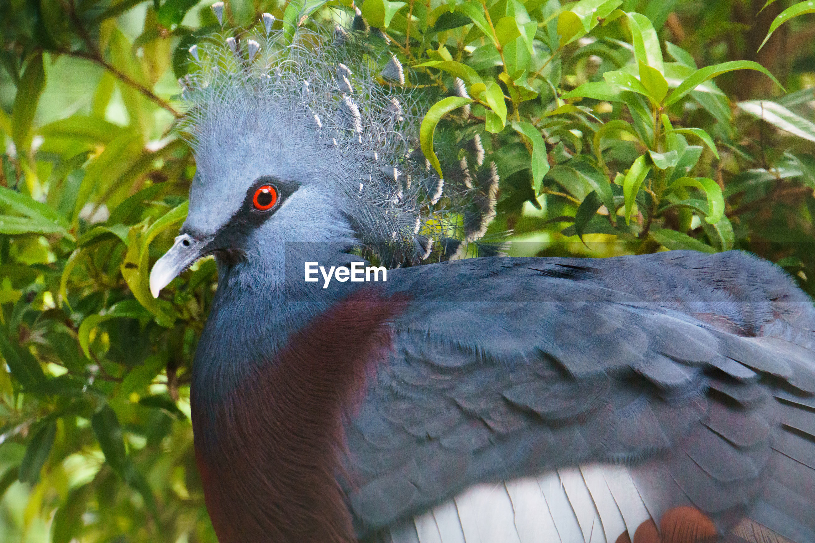 Close-up face of a pigeon crowned victoria
