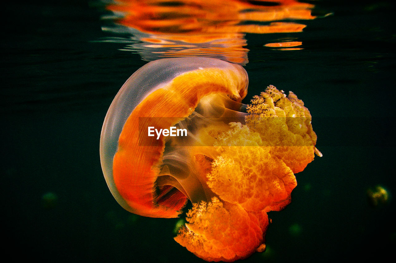 Orange Jellyfish Swimming In Sea
