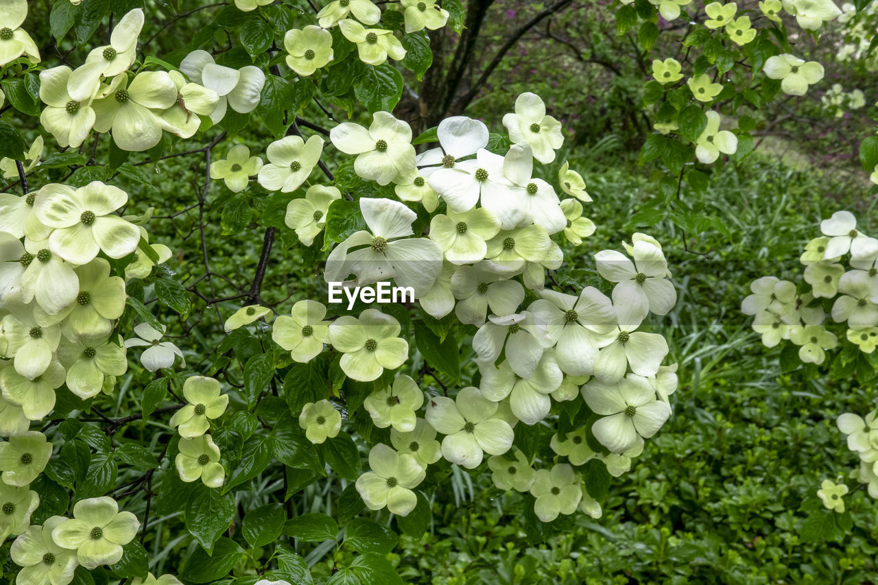 flower, flowering plant, plant, beauty in nature, fragility, vulnerability, freshness, growth, leaf, plant part, white color, nature, petal, blossom, day, no people, inflorescence, green color, close-up, outdoors, flower head, spring