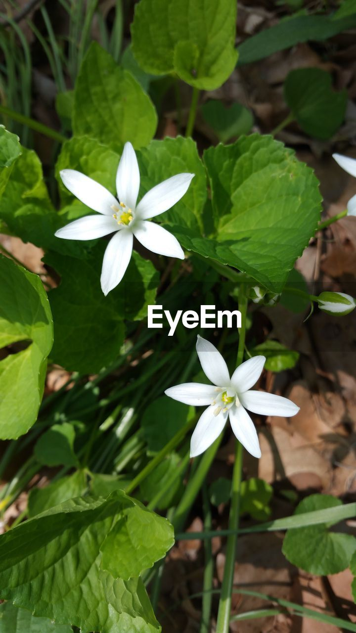 flower, growth, leaf, petal, white color, fragility, freshness, nature, beauty in nature, flower head, plant, high angle view, day, green color, blooming, outdoors, periwinkle, no people, close-up