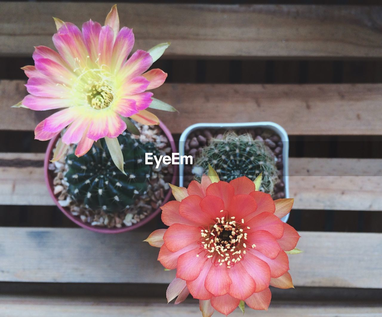 Directly Above Shot Of Flower On Cactus Plant