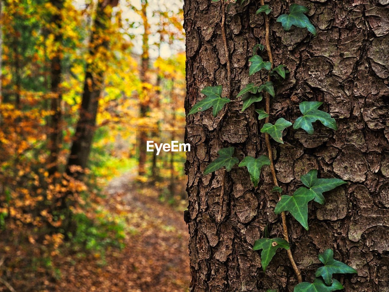 tree, tree trunk, trunk, plant, growth, land, leaf, green color, plant part, forest, focus on foreground, nature, beauty in nature, day, no people, outdoors, close-up, autumn, tranquility, change, woodland, bark, leaves
