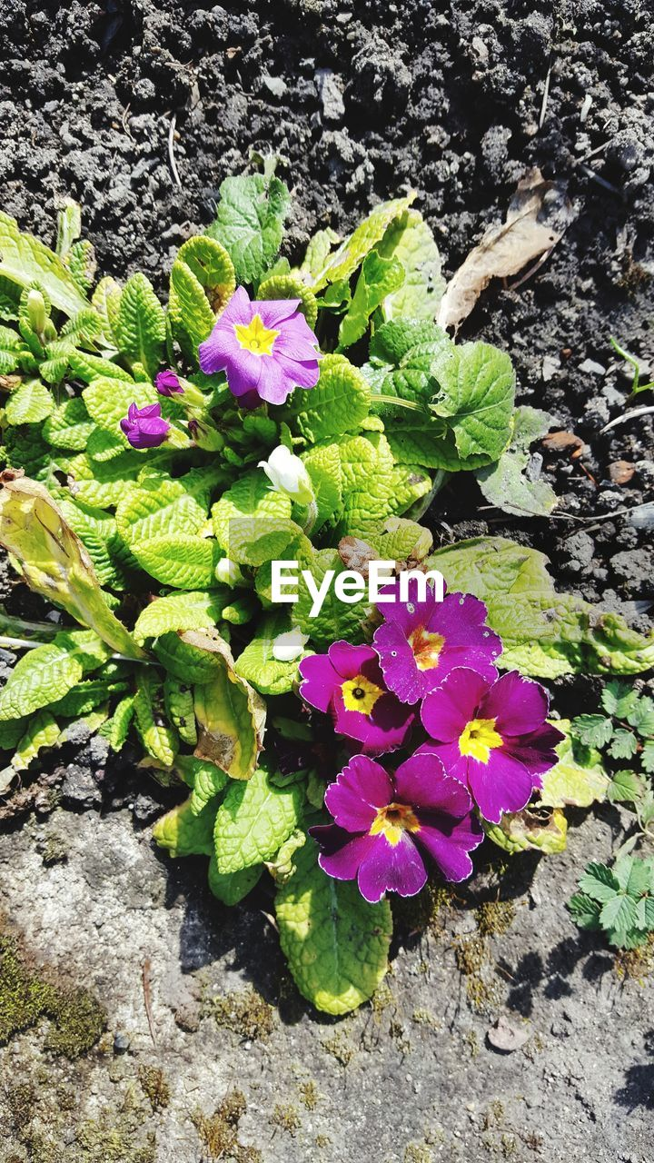 flower, plant, growth, leaf, petal, nature, fragility, beauty in nature, day, outdoors, high angle view, freshness, flower head, green color, no people, purple, pansy, blooming, close-up, crocus