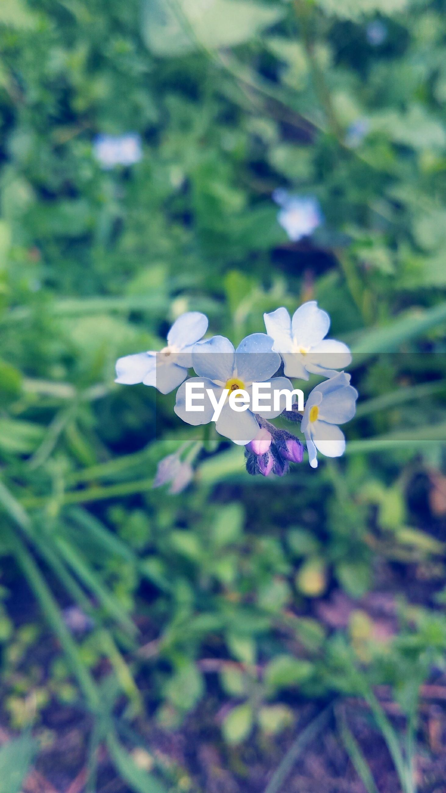 flower, freshness, fragility, growth, petal, beauty in nature, flower head, purple, blooming, blue, focus on foreground, nature, plant, close-up, in bloom, white color, selective focus, blossom, stem, leaf