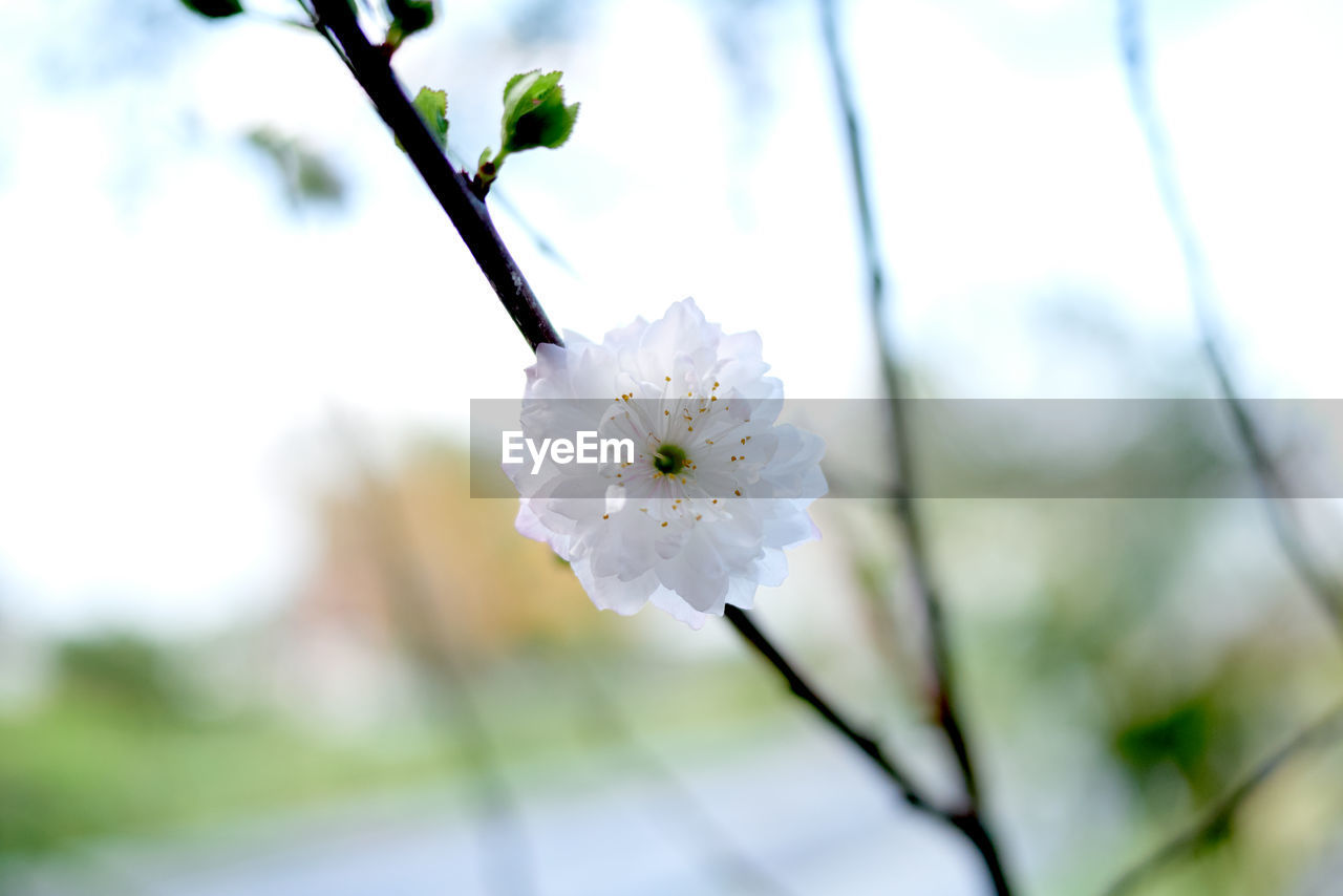 flower, plant, flowering plant, fragility, growth, vulnerability, freshness, beauty in nature, focus on foreground, close-up, petal, tree, flower head, inflorescence, blossom, nature, day, white color, no people, springtime, outdoors, pollen, plum blossom, cherry blossom, cherry tree, spring