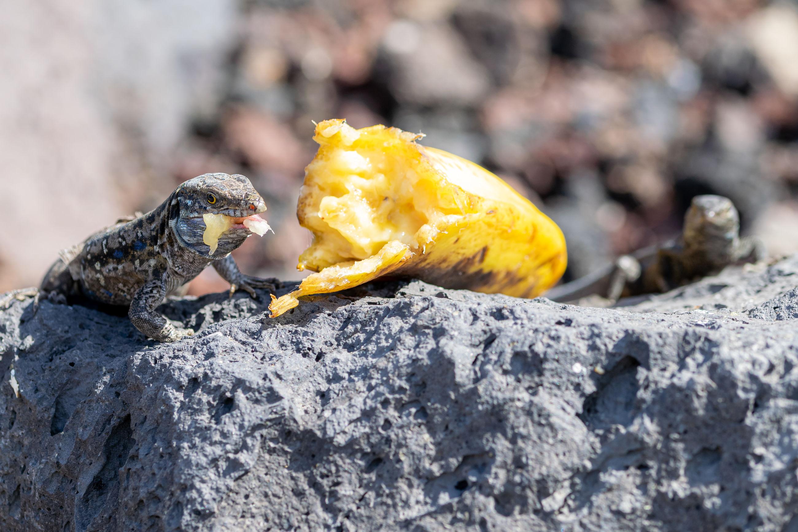 La palma wall lizards. the male lizard has light blue coloring under neck. la palma island, canaries
