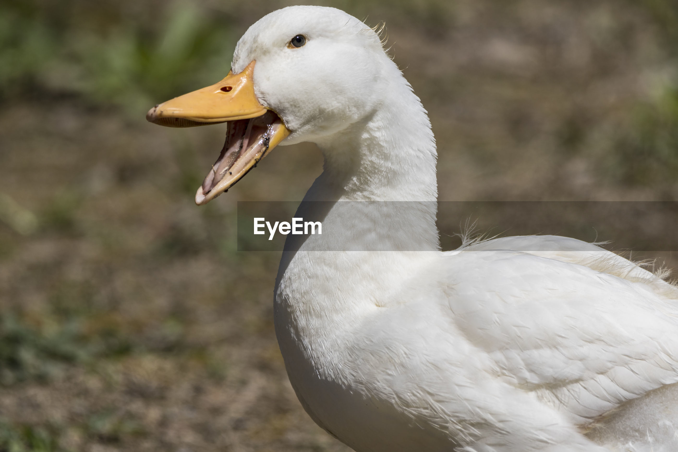 animal themes, bird, animal, vertebrate, animals in the wild, animal wildlife, one animal, focus on foreground, close-up, white color, no people, beak, day, nature, swan, animal body part, water bird, goose, side view, looking, animal head, mouth open, animal neck