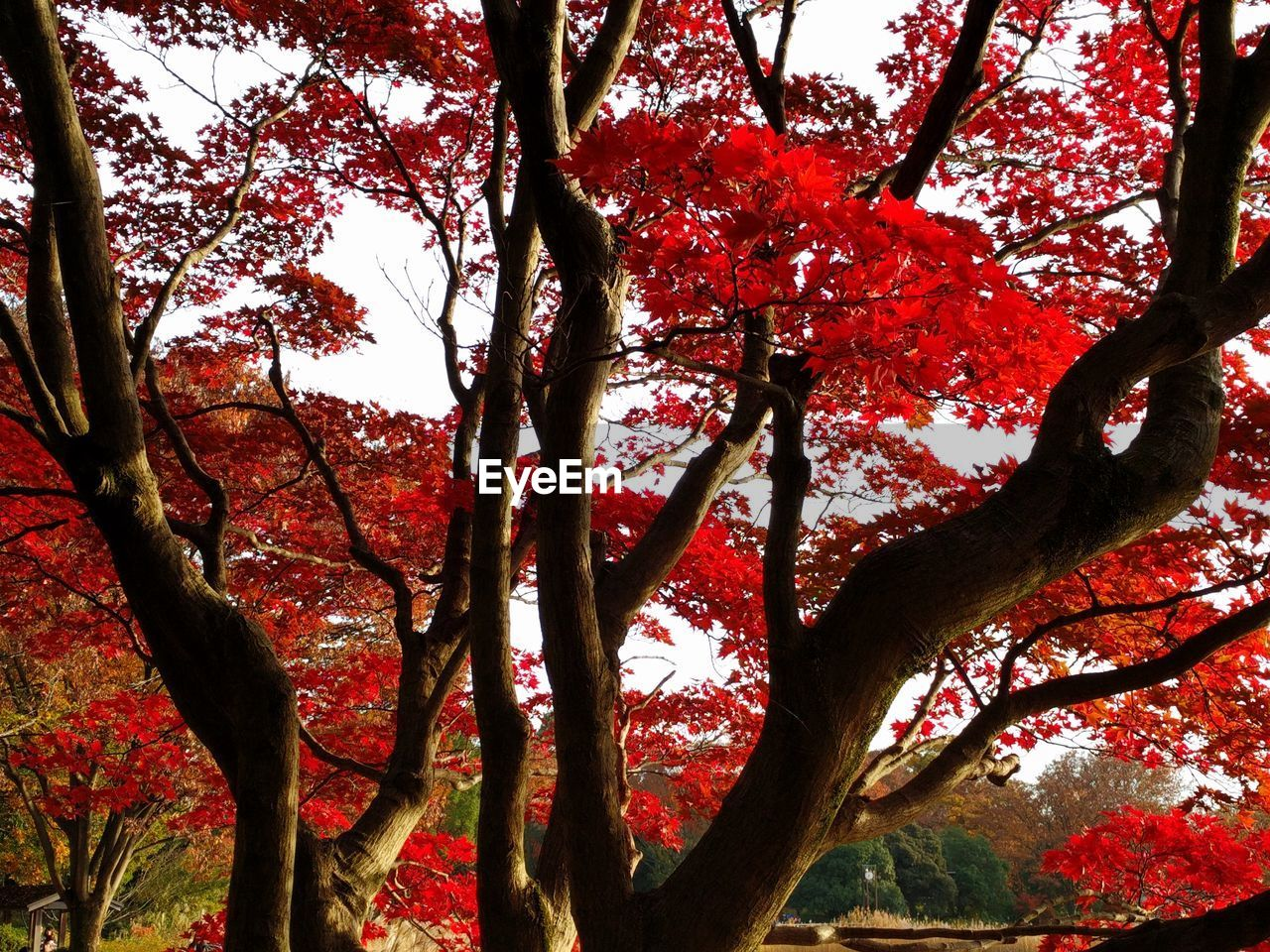 tree, branch, nature, growth, beauty in nature, low angle view, autumn, tranquility, no people, red, day, outdoors, change, scenics, flower