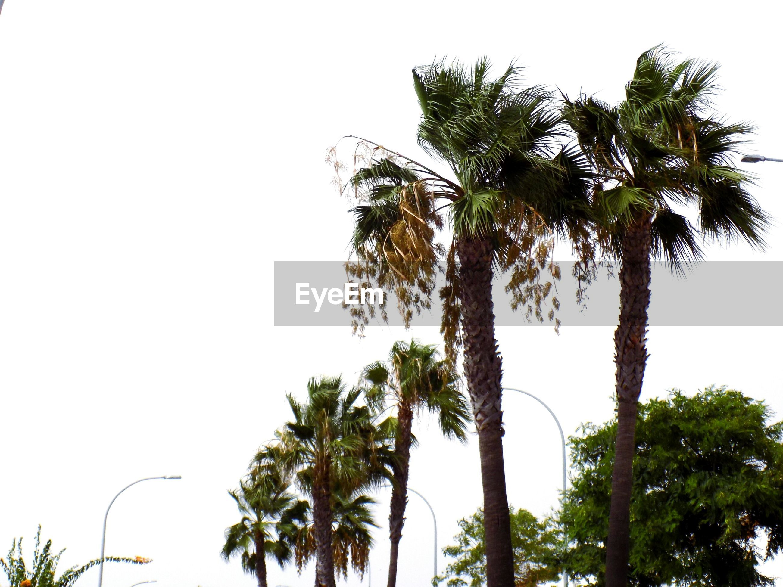 tree, palm tree, low angle view, clear sky, growth, tranquility, nature, beauty in nature, tree trunk, branch, copy space, sky, tranquil scene, scenics, silhouette, coconut palm tree, tall - high, outdoors, no people, day