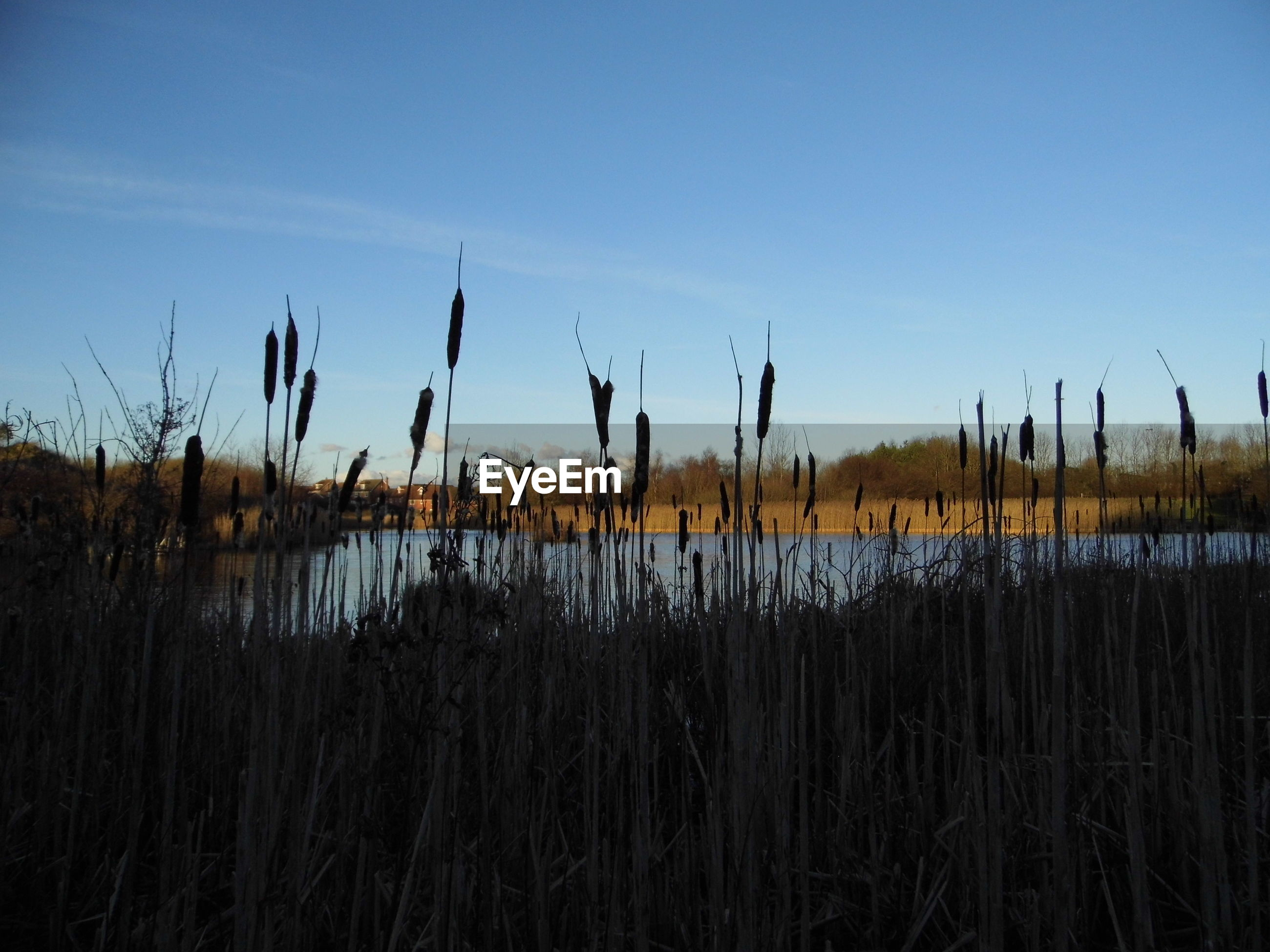 Cattails by lake against blue sky