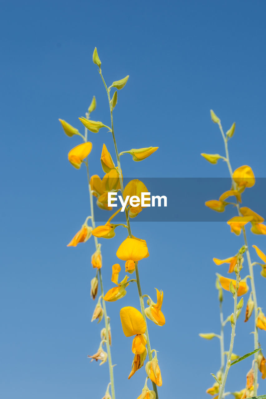 blue, yellow, clear sky, low angle view, no people, nature, beauty in nature, flower, outdoors, day, growth, sky, freshness, fragility, close-up
