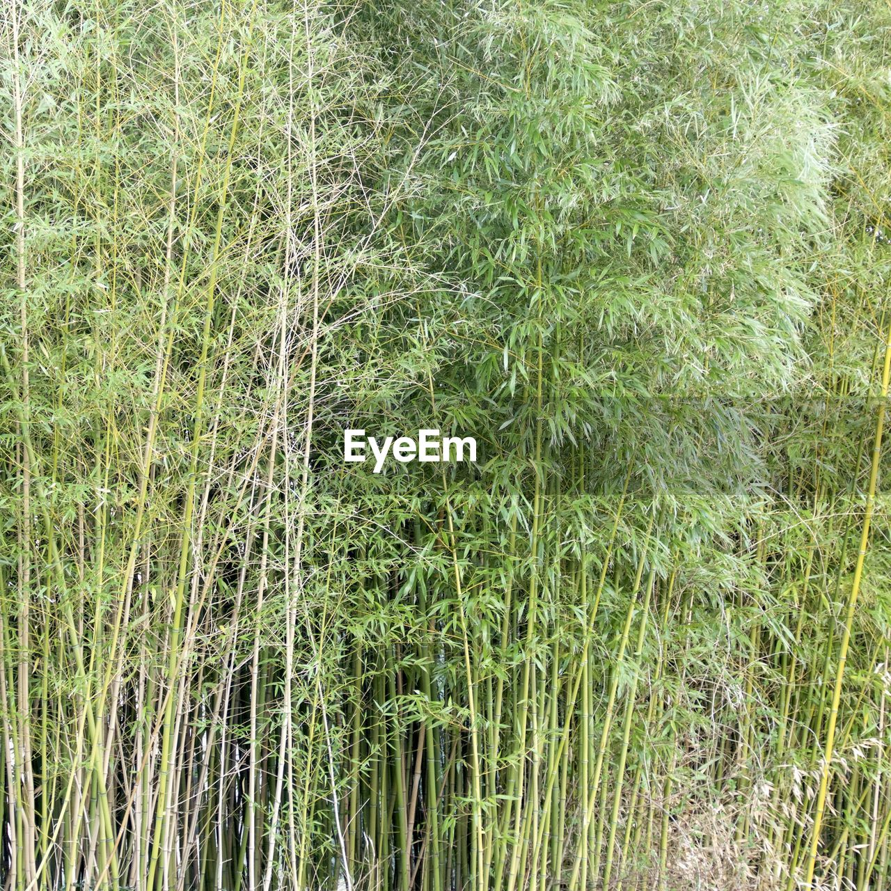 grass, growth, nature, green color, plant, backgrounds, no people, day, full frame, field, outdoors, tranquility, beauty in nature, bamboo - plant, bamboo grove, close-up