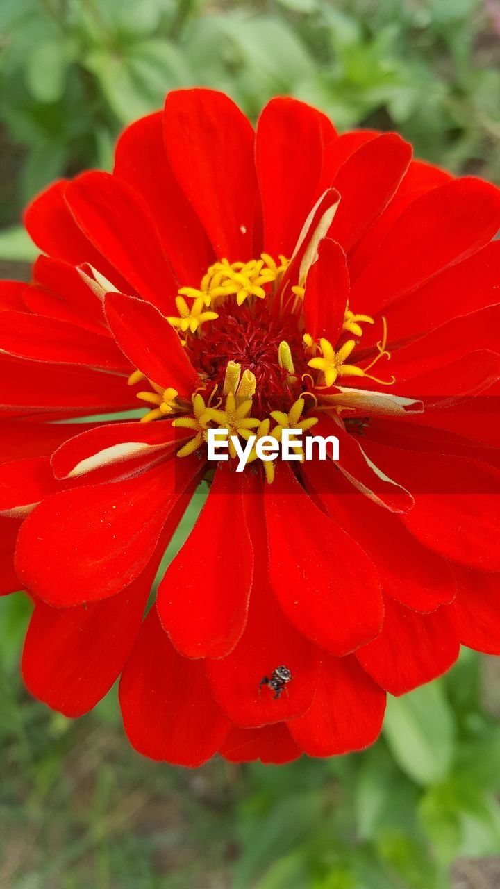 flower, petal, fragility, nature, red, beauty in nature, freshness, flower head, growth, plant, close-up, day, no people, outdoors, focus on foreground, pollen, blooming, zinnia