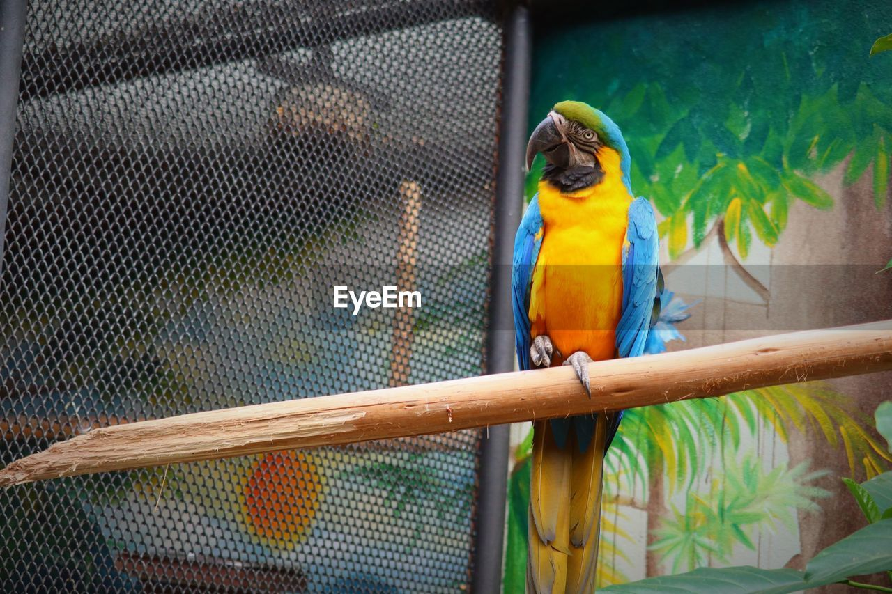 animal themes, animal, parrot, vertebrate, animal wildlife, bird, macaw, animals in the wild, perching, gold and blue macaw, cage, multi colored, one animal, animals in captivity, no people, zoo, day, close-up, yellow, birdcage