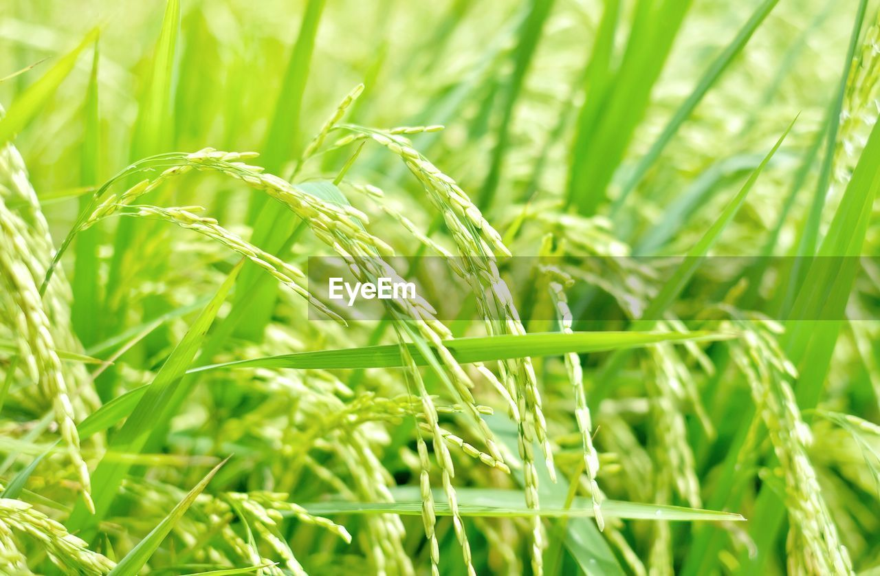 growth, plant, green color, nature, close-up, agriculture, beauty in nature, crop, land, no people, cereal plant, focus on foreground, field, day, rural scene, grass, selective focus, landscape, tranquility, outdoors, blade of grass, plantation