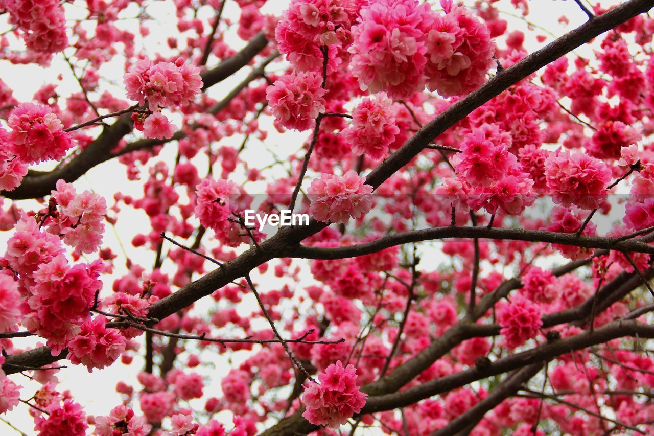 pink color, flowering plant, flower, plant, blossom, tree, branch, freshness, growth, fragility, beauty in nature, springtime, vulnerability, low angle view, nature, close-up, cherry blossom, no people, day, botany, outdoors, cherry tree, flower head, plum blossom, bunch of flowers, spring