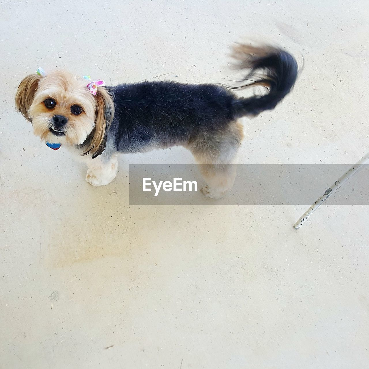 one animal, domestic, pets, mammal, domestic animals, canine, dog, vertebrate, high angle view, portrait, looking at camera, no people, day, leash, standing, full length, small