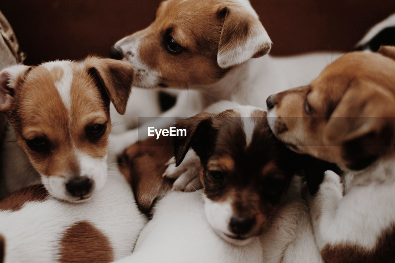 Close-up of a little dogs