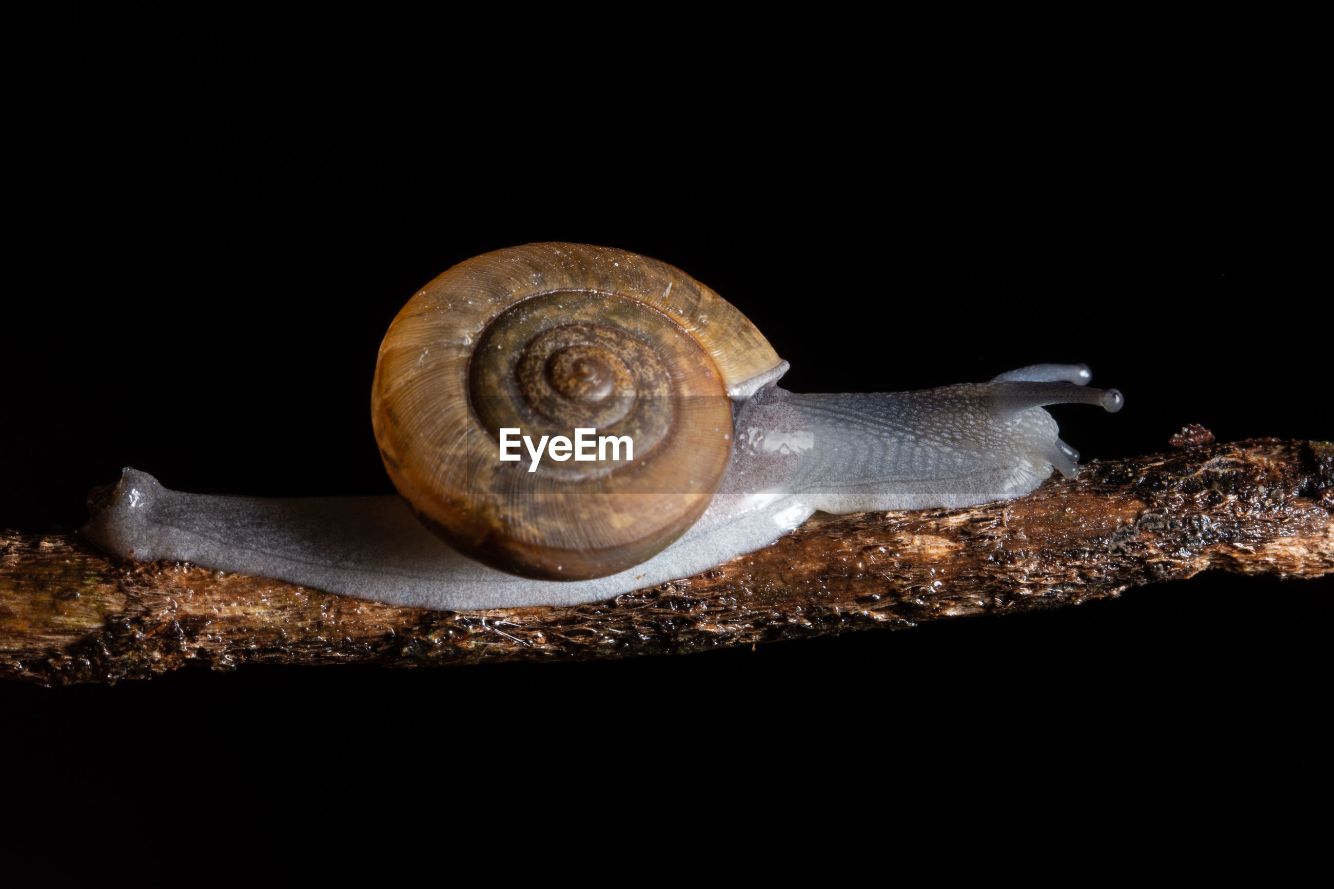 Close-up of snail over black background