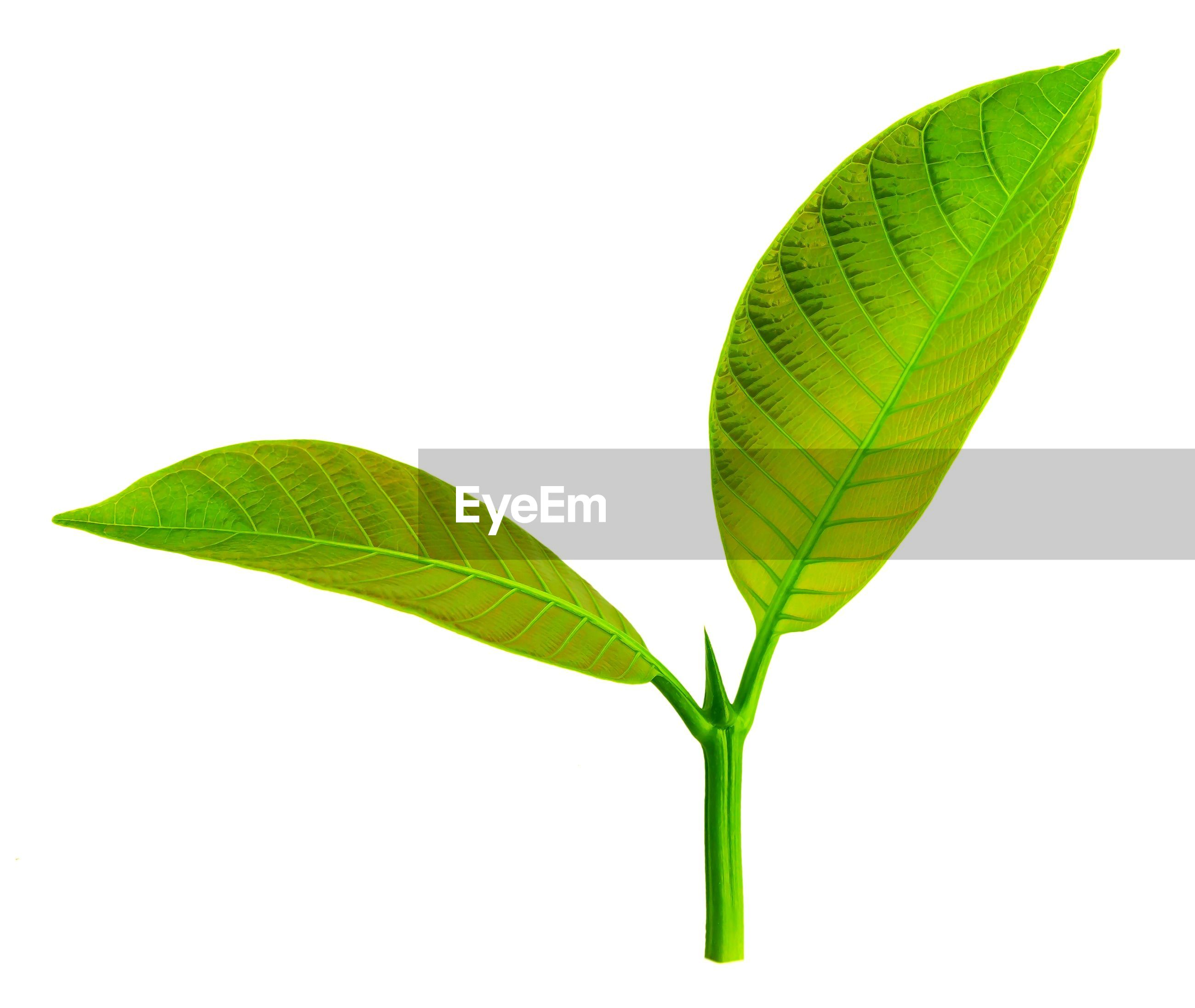 Close-up of leaves on white background