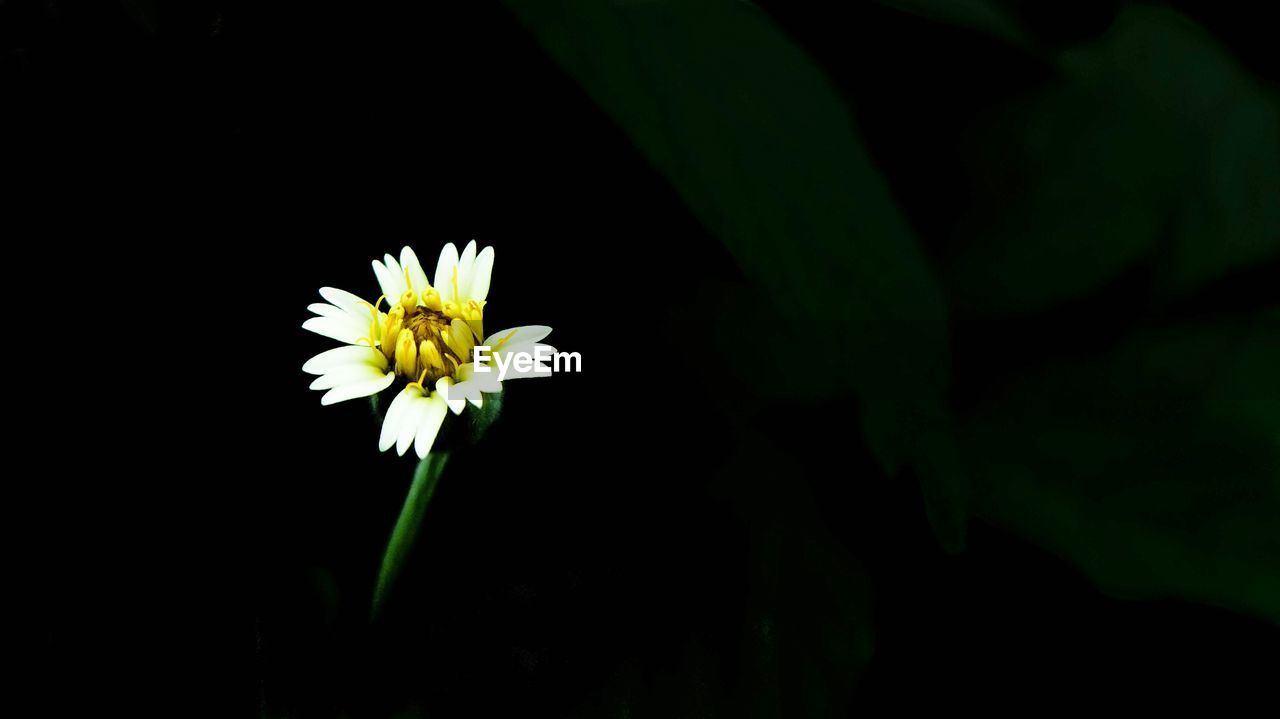 flower, flowering plant, freshness, plant, fragility, vulnerability, beauty in nature, close-up, petal, growth, inflorescence, flower head, nature, yellow, white color, no people, focus on foreground, botany, outdoors, black background