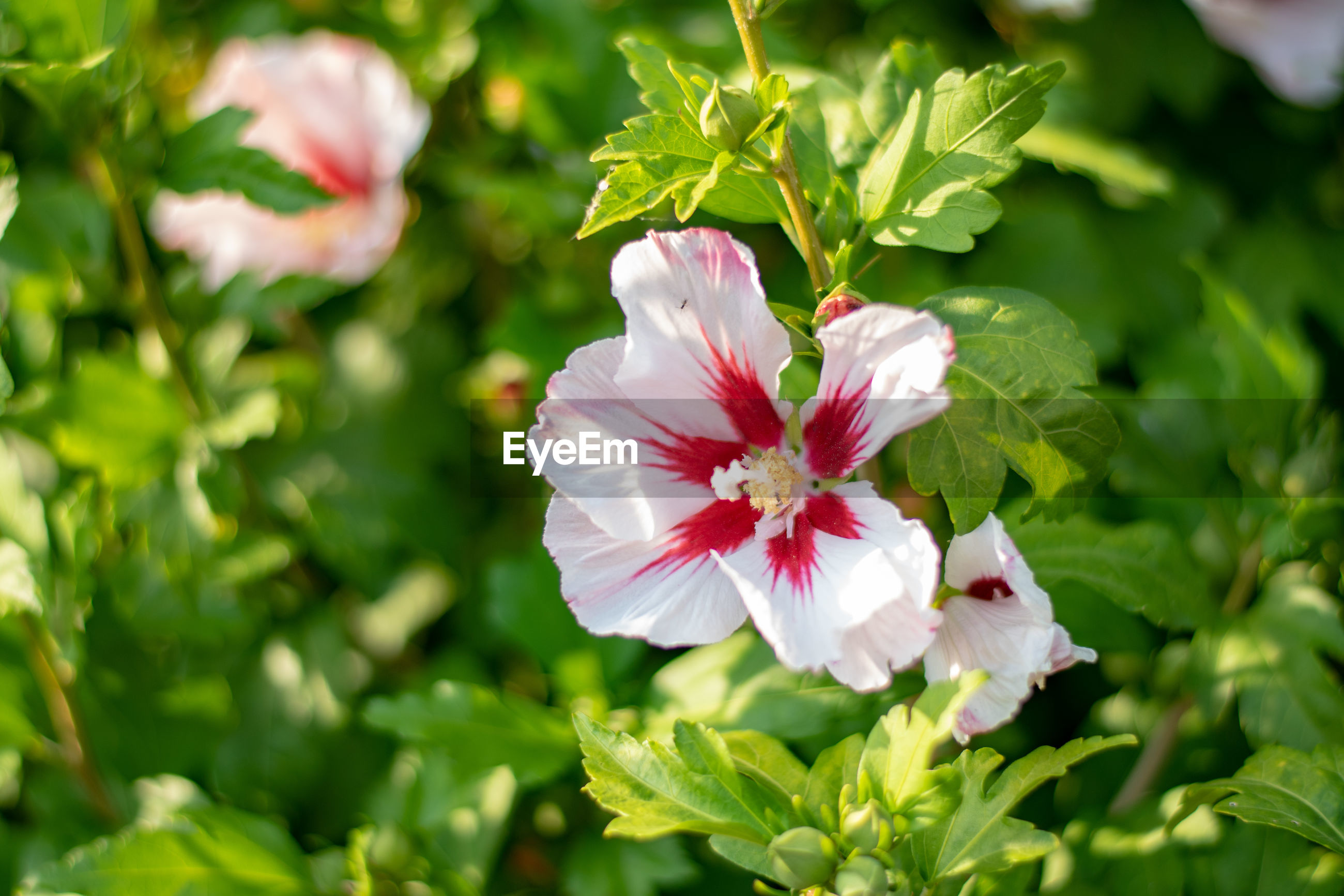 CLOSE-UP OF PINK WHITE FLOWERING PLANT