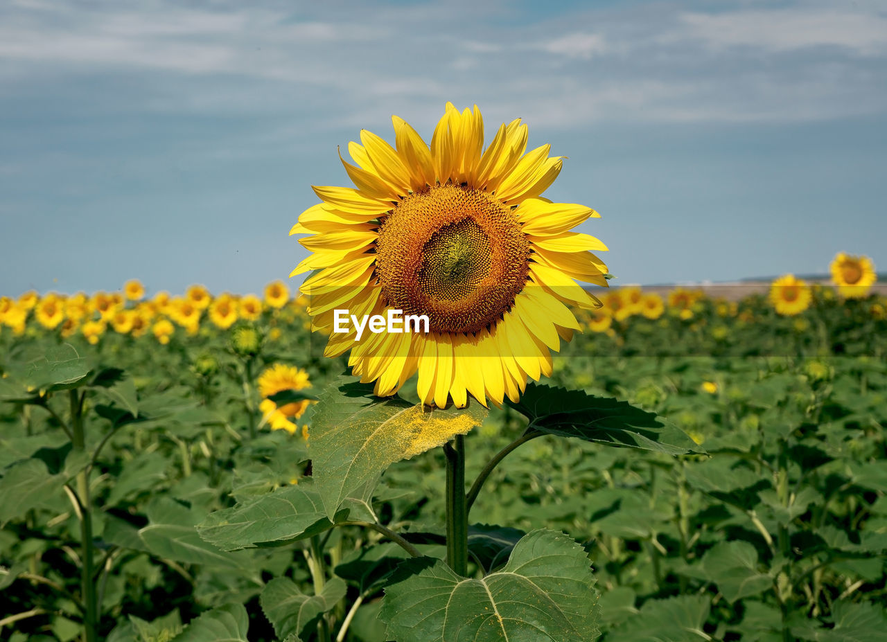 yellow, flower, flowering plant, plant, flower head, growth, fragility, beauty in nature, vulnerability, freshness, inflorescence, petal, sunflower, nature, close-up, focus on foreground, plant part, leaf, field, day, outdoors, no people, pollen, sepal