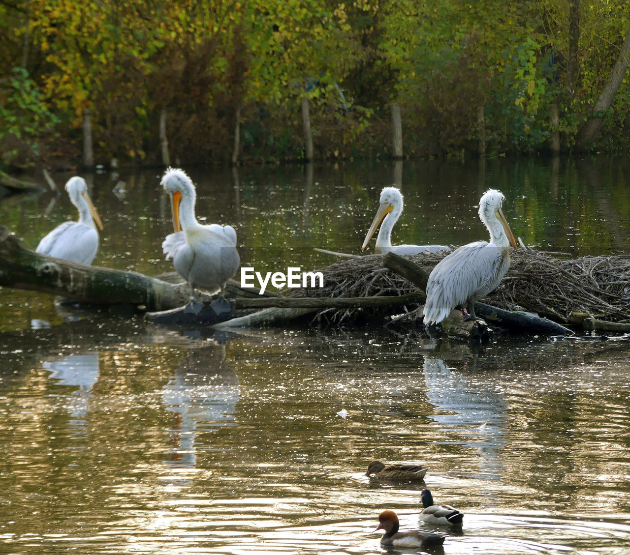 water, animal wildlife, bird, vertebrate, animal themes, animals in the wild, group of animals, animal, lake, reflection, nature, waterfront, day, no people, tree, white color, beauty in nature, plant, swan, flock of birds