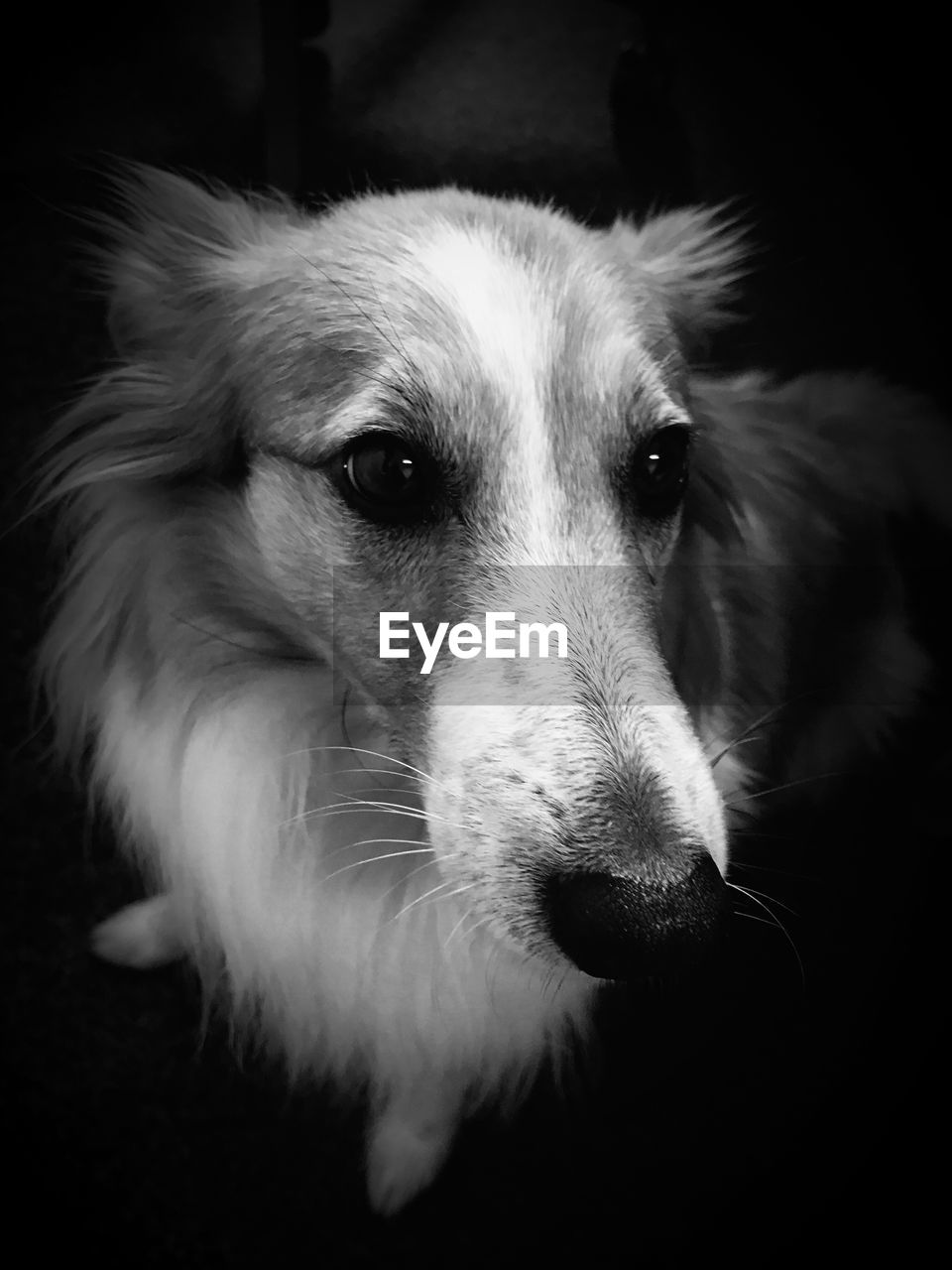 one animal, dog, canine, domestic, mammal, pets, animal, domestic animals, animal themes, vertebrate, close-up, portrait, animal body part, animal head, indoors, looking away, no people, relaxation, looking, black background, snout