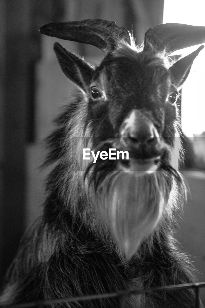 mammal, one animal, close-up, portrait, looking at camera, domestic animals, focus on foreground, vertebrate, animal wildlife, no people, deer, horned, day, animal body part, indoors, herbivorous, snout