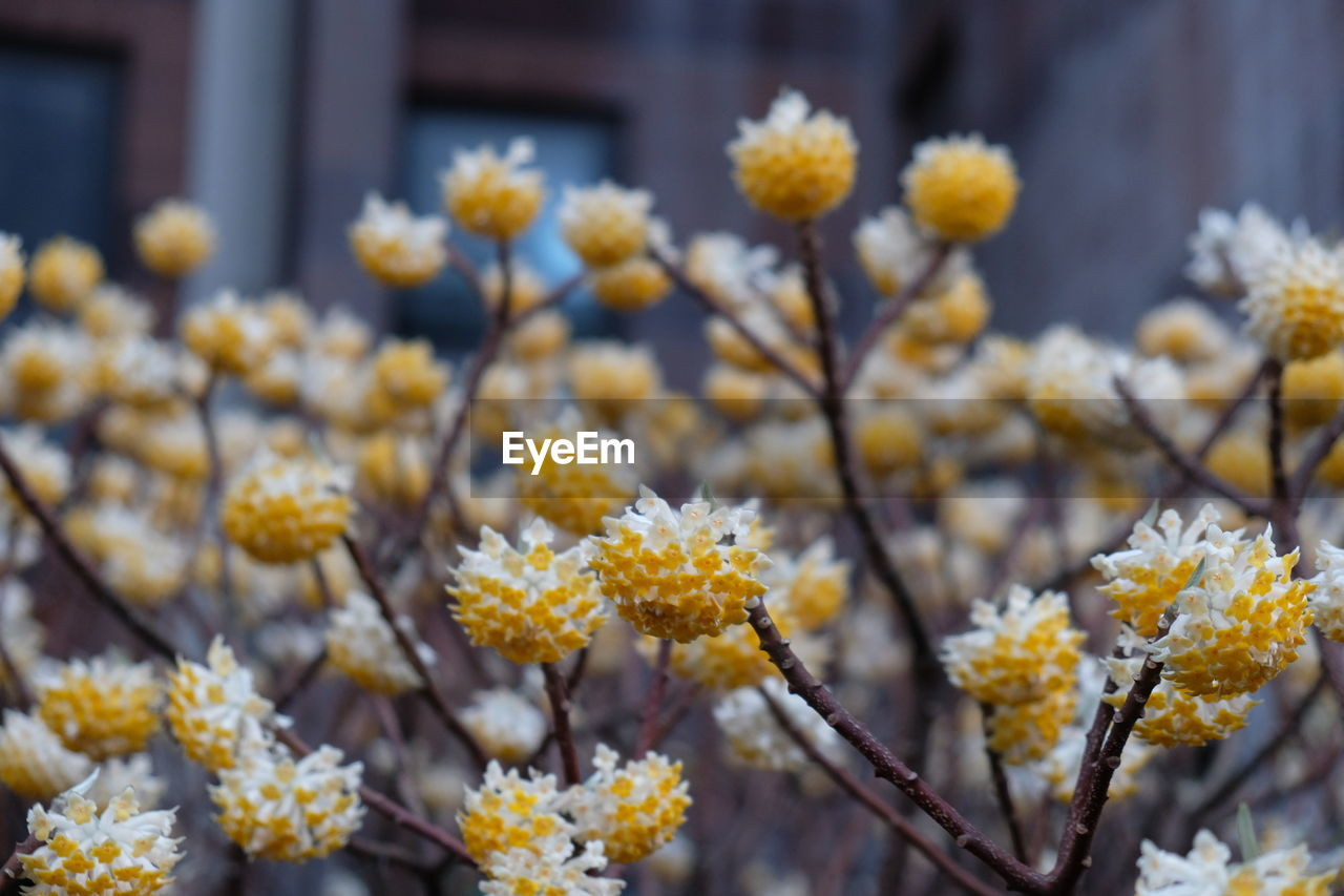 Close-Up Of Fresh Yellow Flowers Blooming In Park