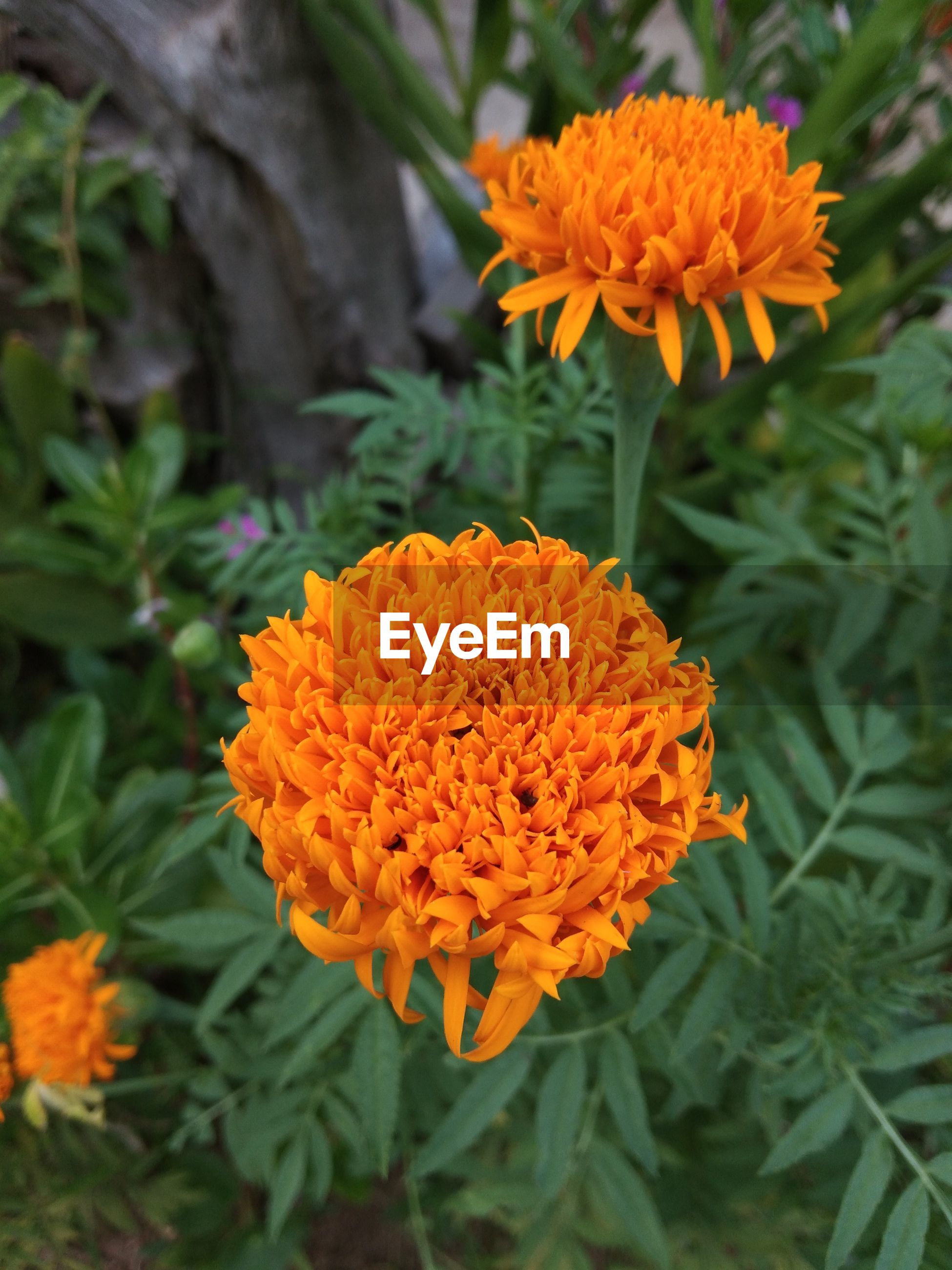 CLOSE-UP OF ORANGE MARIGOLD FLOWERS IN PARK