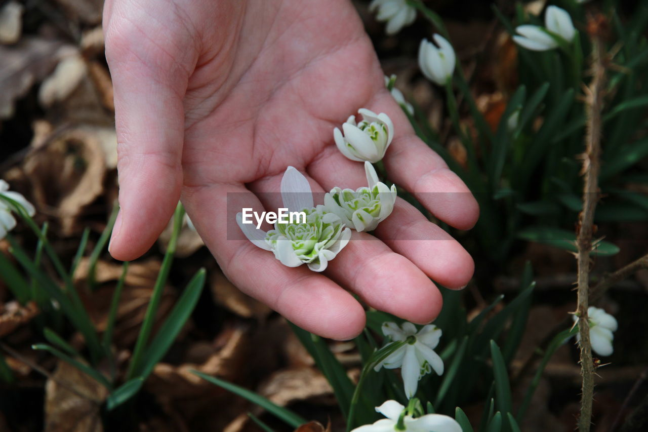 Close-up of hand holding snowdrops