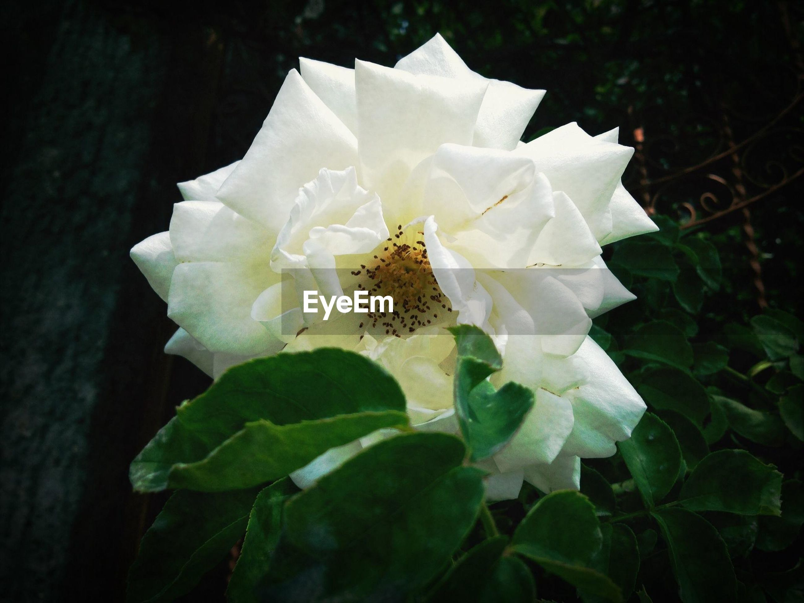 flower, petal, flower head, white color, fragility, freshness, growth, beauty in nature, single flower, close-up, blooming, nature, white, plant, leaf, in bloom, focus on foreground, pollen, no people, outdoors