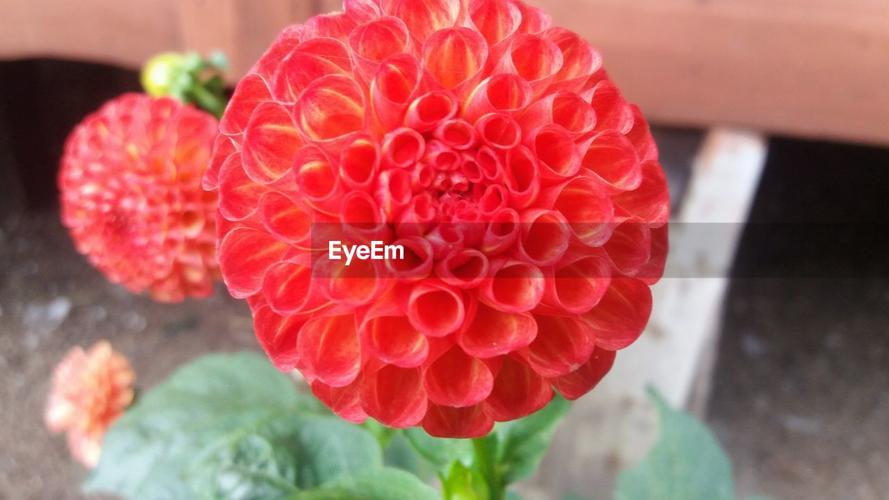 growth, flower, focus on foreground, freshness, petal, beauty in nature, flower head, day, nature, close-up, red, plant, fragility, outdoors, no people, blooming