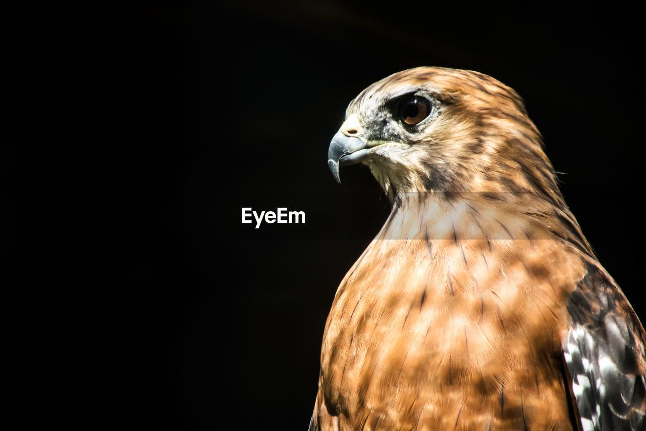 Close-Up Of Bird Of Prey