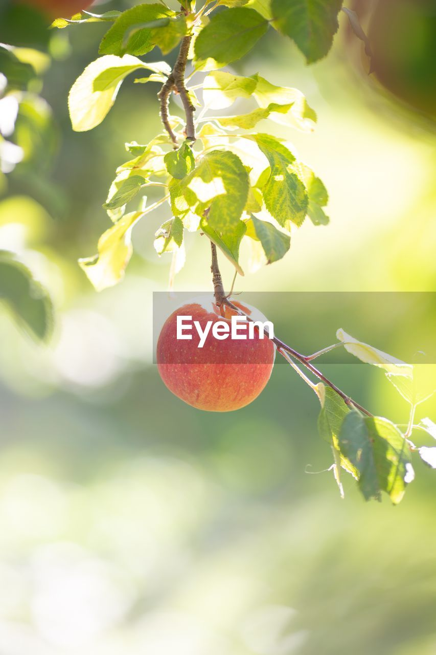 fruit, food and drink, healthy eating, food, freshness, wellbeing, plant, red, plant part, leaf, focus on foreground, nature, day, growth, close-up, no people, tree, agriculture, green color, selective focus, outdoors, ripe