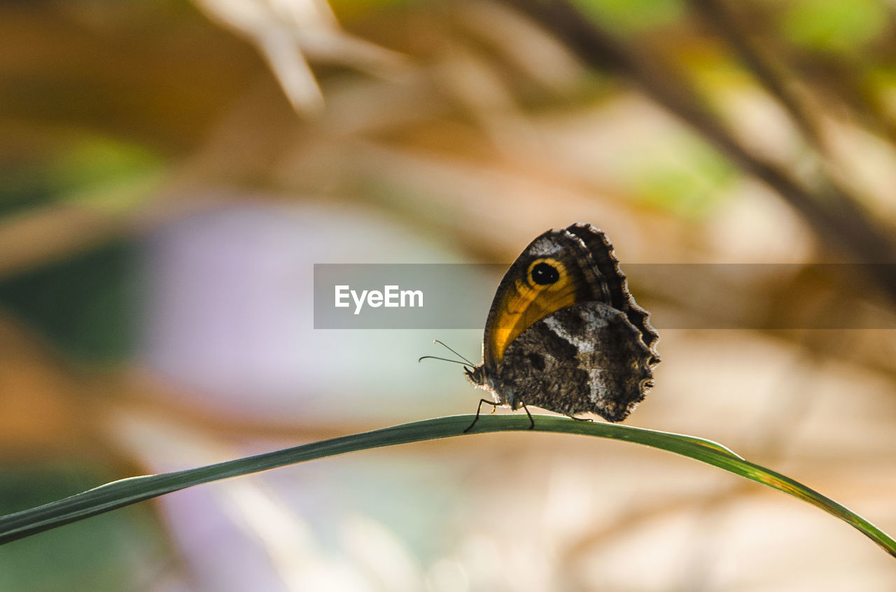 CLOSE-UP OF BUTTERFLY PERCHING ON LEAF OUTDOORS