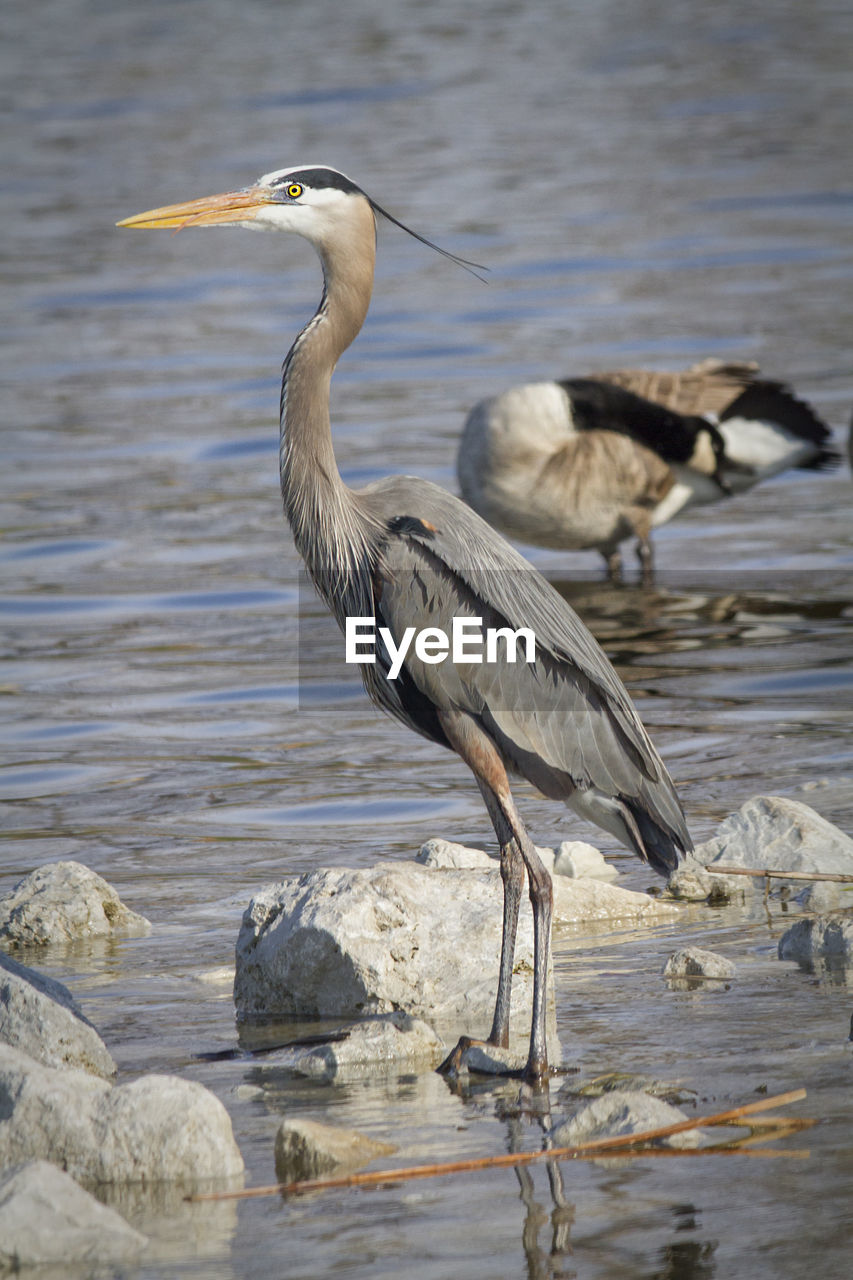 Close-up of great blue heron standing in river