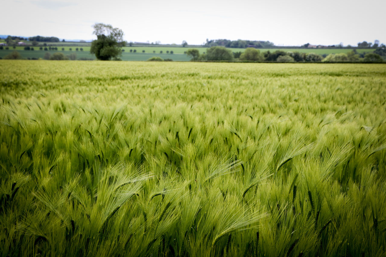 field, plant, landscape, agriculture, land, growth, crop, rural scene, environment, farm, cereal plant, green color, beauty in nature, nature, tranquility, scenics - nature, tranquil scene, sky, no people, day, outdoors, plantation, stalk