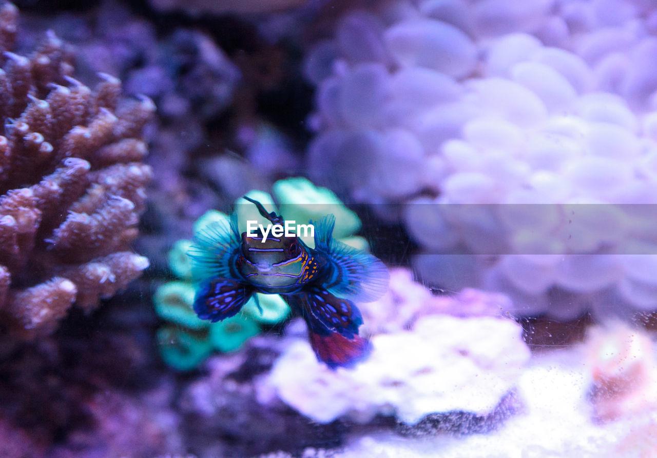 Close-Up Of Mandarinfish Swimming Underwater