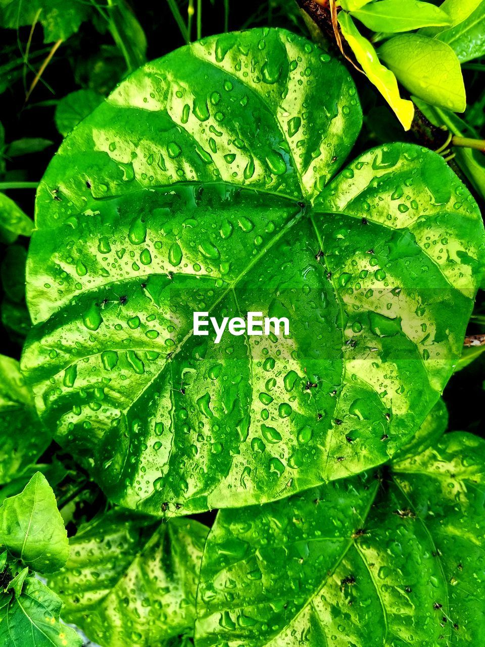 leaf, plant part, green color, growth, plant, drop, close-up, nature, wet, water, beauty in nature, no people, day, leaves, freshness, leaf vein, focus on foreground, full frame, outdoors, raindrop, rain, dew, rainy season, purity