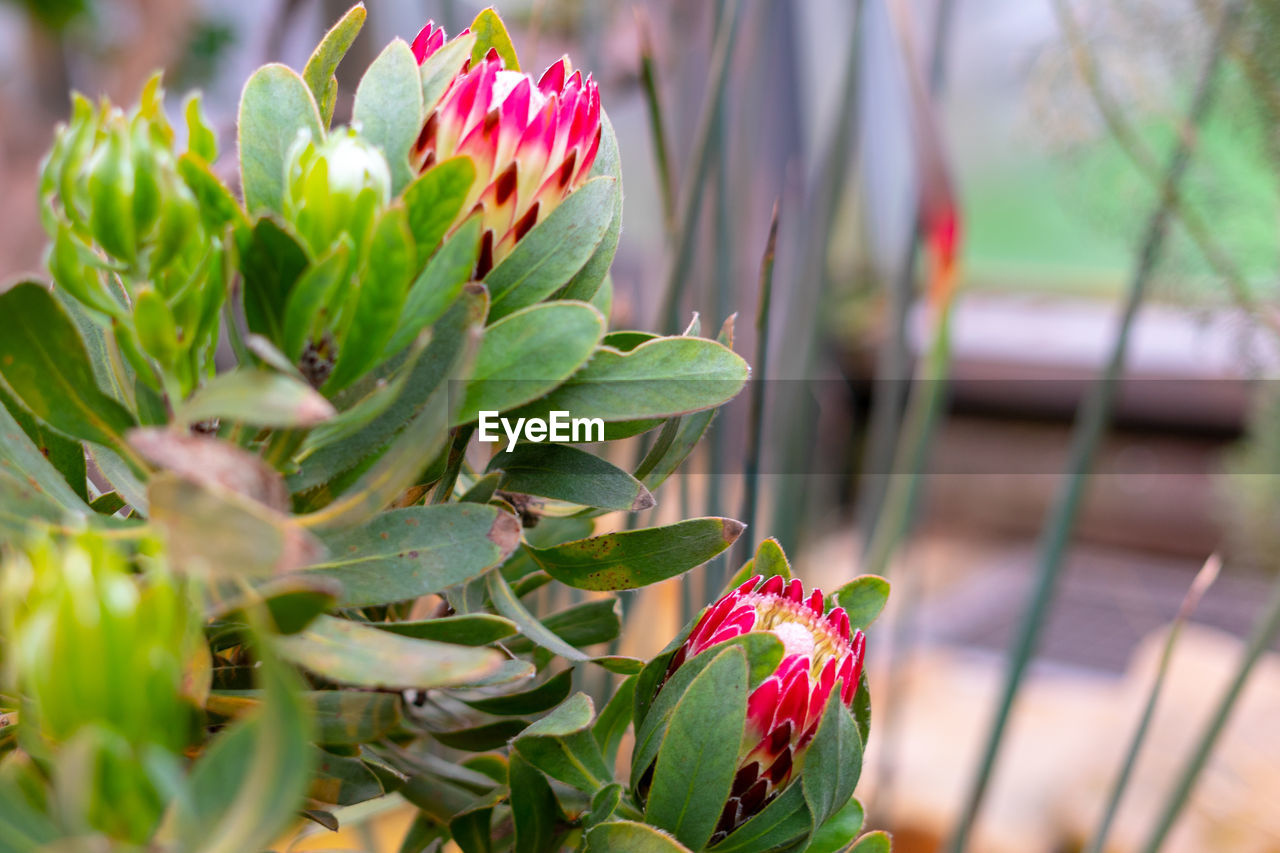 plant, growth, flower, beauty in nature, close-up, flowering plant, plant part, leaf, freshness, vulnerability, fragility, nature, day, pink color, green color, red, selective focus, petal, inflorescence, flower head, no people, outdoors