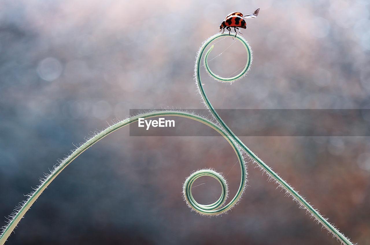 Close-Up Of Ladybug On Tendril