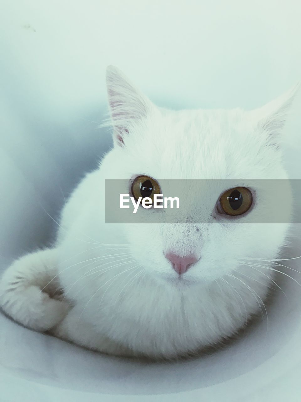 domestic cat, feline, pets, domestic animals, mammal, looking at camera, portrait, white color, cat, animal themes, one animal, whisker, indoors, no people, close-up, sitting, white background, day
