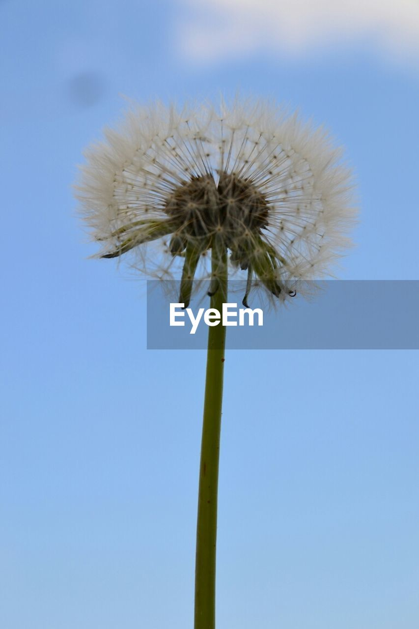 flower, fragility, nature, dandelion, growth, stem, flower head, beauty in nature, freshness, day, outdoors, plant, close-up, clear sky, no people, sky