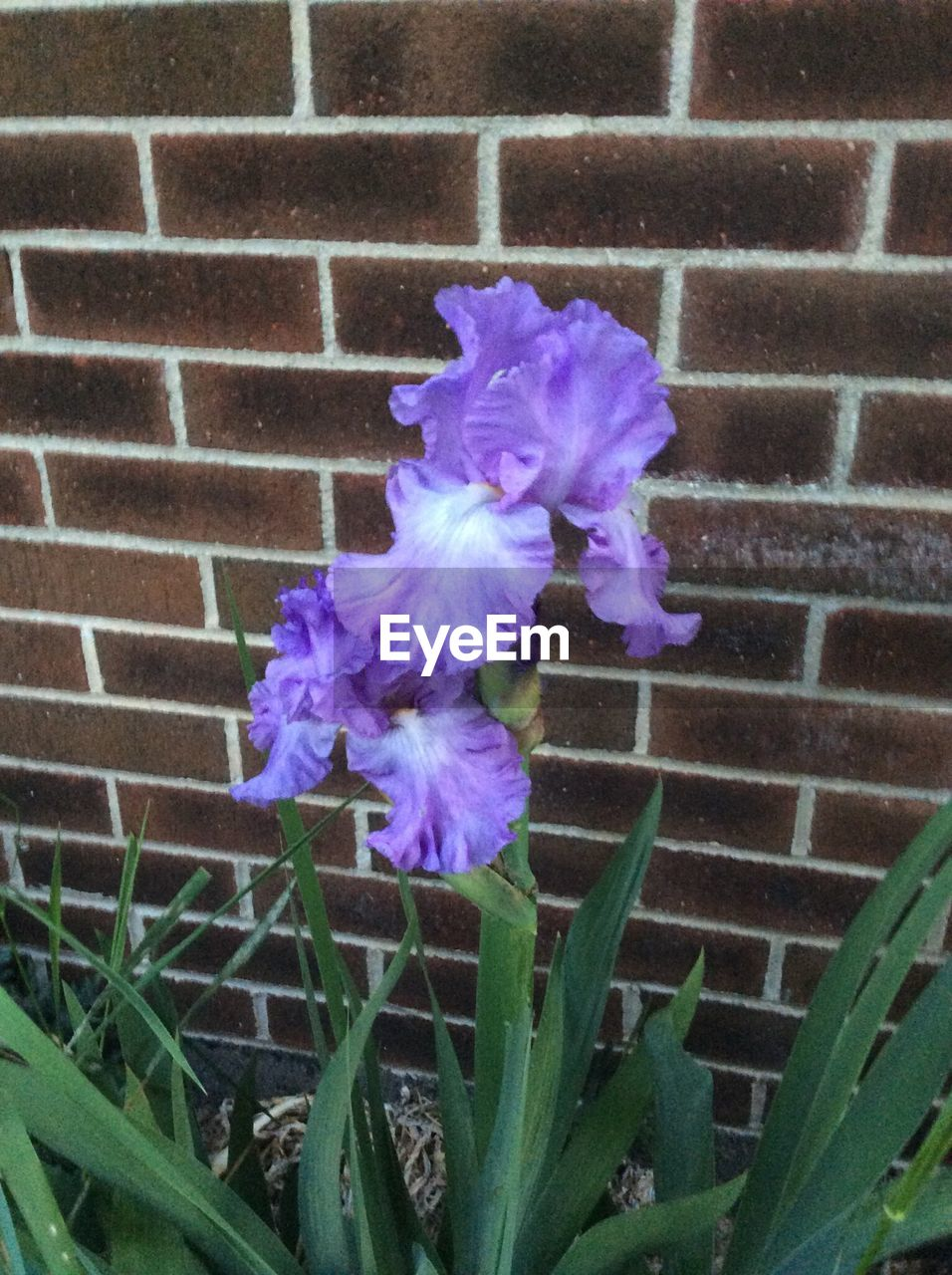 flower, growth, blooming, blossoming, spring, purple, nature, delicate, plant, pedal, beauty in nature, no people, outdoors