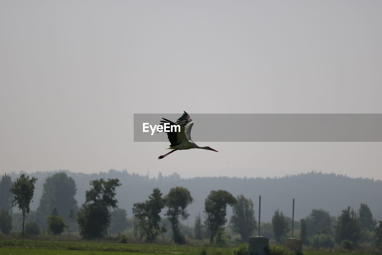 flying, animals in the wild, spread wings, bird, mid-air, one animal, animal themes, animal wildlife, nature, day, outdoors, tree, clear sky, no people, beauty in nature, sky
